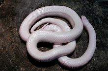 Snow King Snake