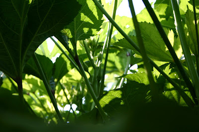 Sunlight and shadows in the okra patch