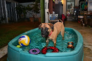 . family and how you would treat your new bull mastiff!
