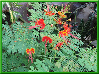 Caesalpinia pulcherrima (Peacock Flower) in our garden, Oct 2005