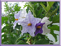 Solanum macranthum (Giant Potato Tree)