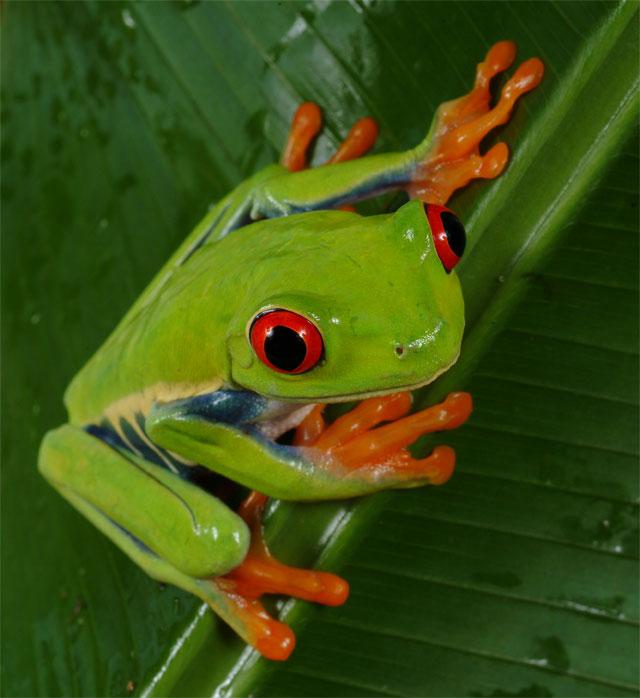 tree frog image