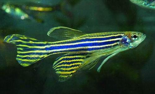 [zebrafish.jpg]