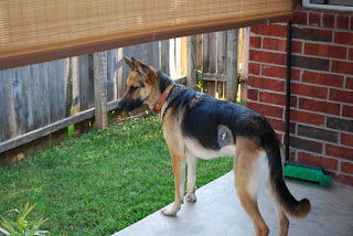 Can Myasthenia Gravis In Dogs Be Cured