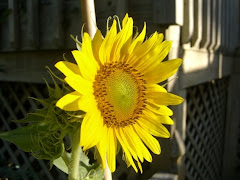 Sunflower Beauty!