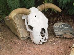 Yuma Skull