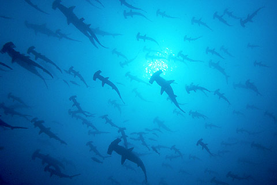 Hammerheads under a distant, watery sun. With thanks to www.underseahunter.com
