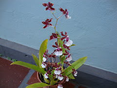 ORQUIDEA CHOCOLATE