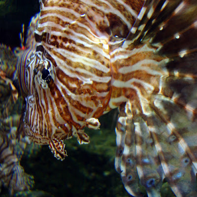 Red Lionfish at Georgia Aquarium