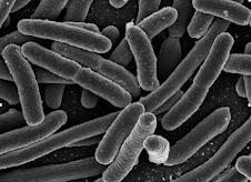Bacteria (reino monera)