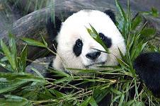 Panda (reino animalia)