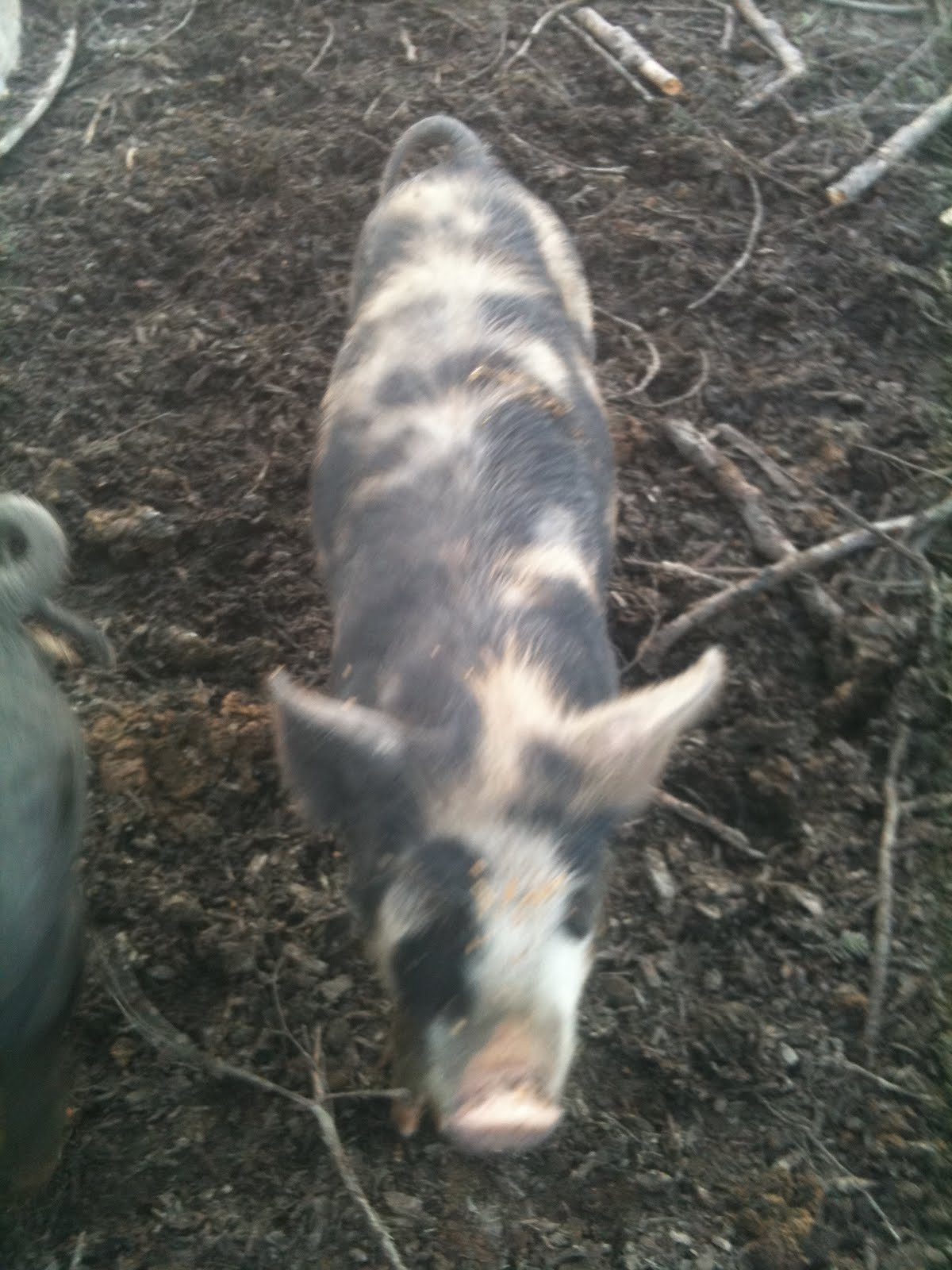 This Size Pig Is Pretty Bombproof. If Youu0027re Interested In Raising Your Own  Pork, Buying A Little Larger Pig Is Often A Good Bargain.