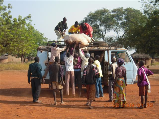 Loading cow on lorry