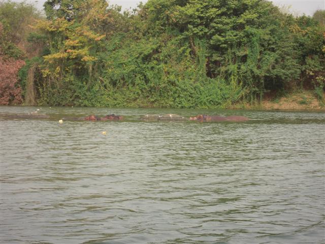 Hippo heads