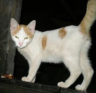 white yellow kitten picture
