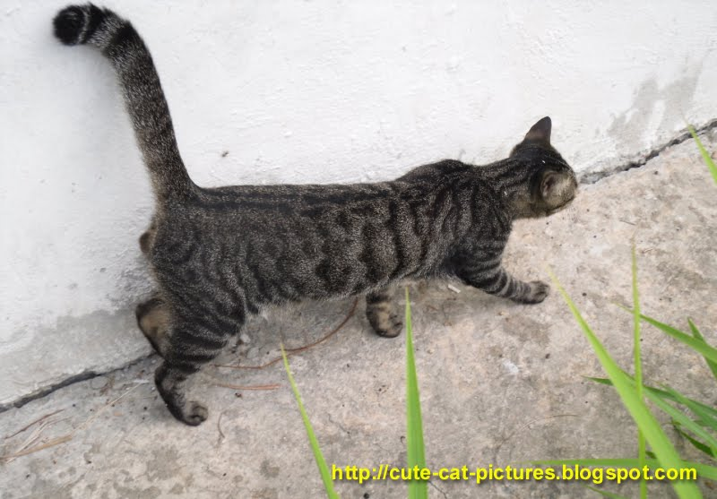 grey tabby cat with long tail