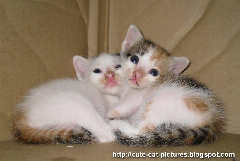young twin cute kitten