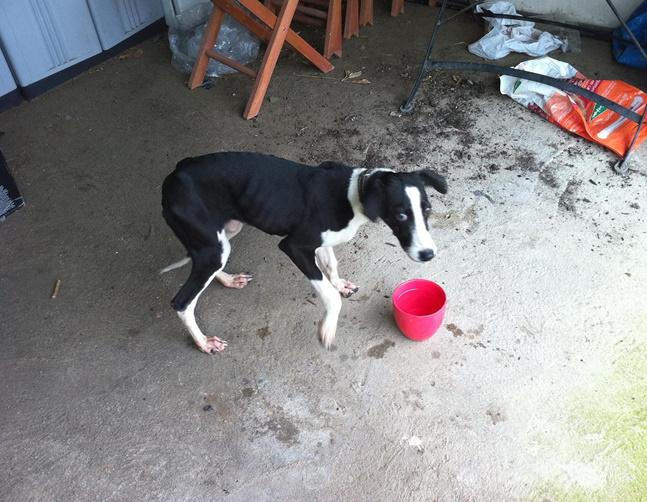 Noble galgo cachorra de galgo en grave peligro muy urgente