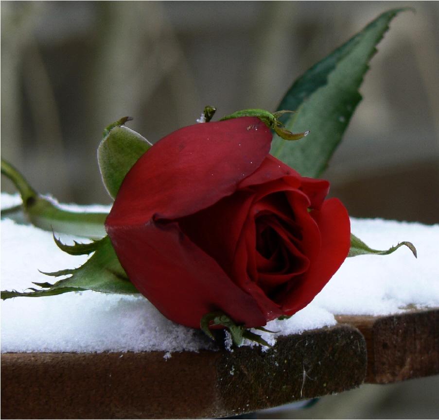 Single Men Online Dating Personals - Rose Brides