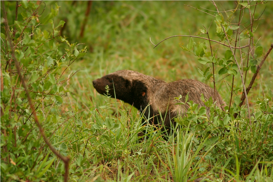 Honey badger vs lion testicles - photo#3