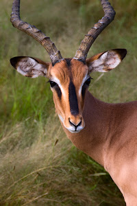 Impala, Etosha National Park, Namibia © Matt Prater