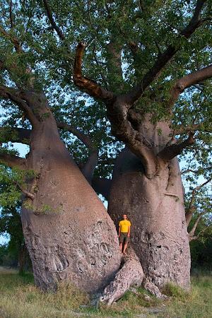 Giant baobab tree, near Grootfontein, Namibia