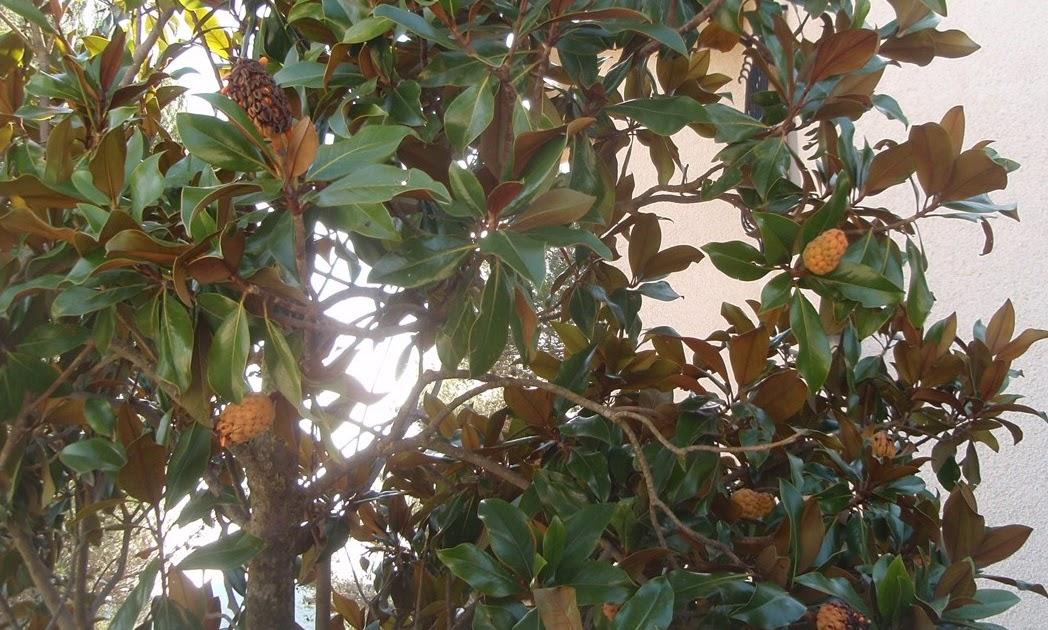 Herbario virtual de banyeres de mariola y alicante - Semilla de magnolia ...