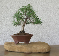 Rosmarin bonsai