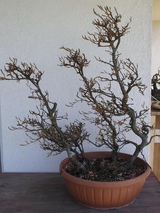 bonsai und beistellpflanzen 2010. Black Bedroom Furniture Sets. Home Design Ideas