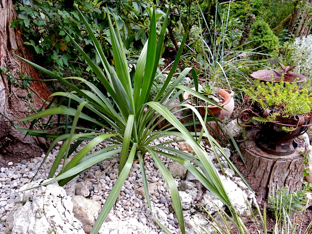 Miss canthus et graam iney yuccas rocailles etc qui for Yucca exterieur pot
