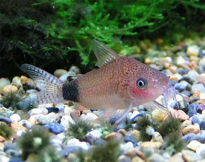 Peixe de Aquario: Cascudo Guapore