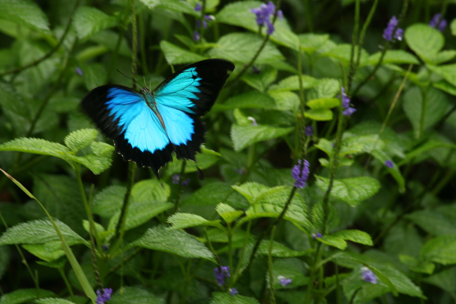 Ulysses Butterfly Everything Auss...