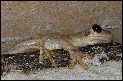 tree frog but is tyler 39 s or laughing tree frog litoria tyleri