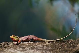 An Oriental Garden Lizard (Calotes versicolor) photographed in Kandy, Sri Lanka