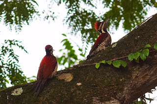 A pair of Black-rumped Flamebacks photographed in Colombo, Sri Lanka