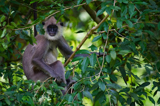 A Gray Langur photographed in Anuradhapura, Sri Lank