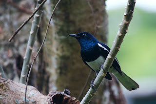 An Oriental Magpie Robin photographed in Colombo, Sri Lanka