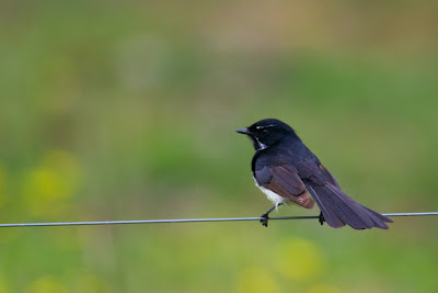 Willie Wagtail (Rhipidura leucophrys) - New South Wales, Australia