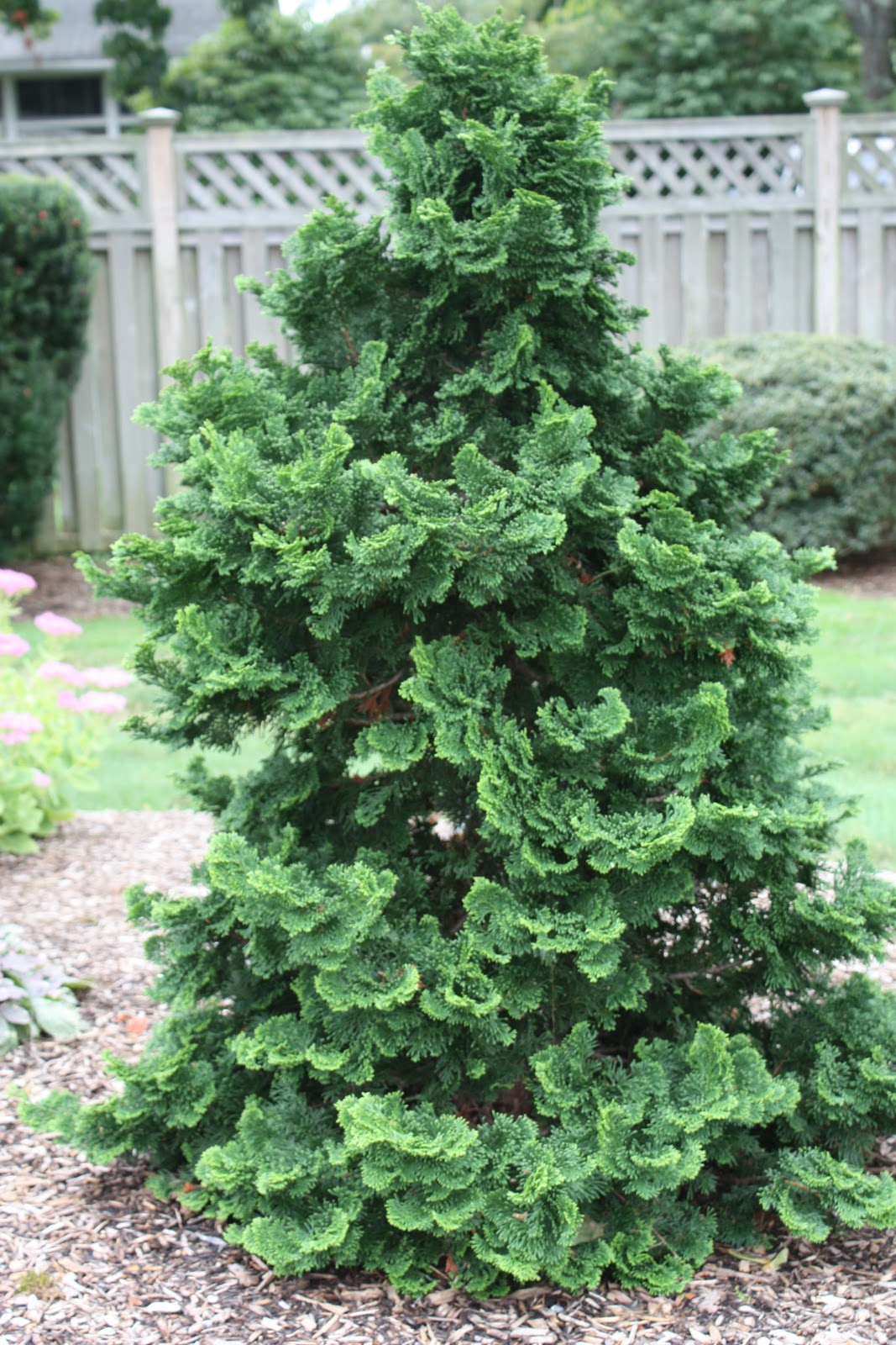 a guide to northeastern gardening evergreens. Black Bedroom Furniture Sets. Home Design Ideas