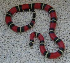 Nelsoni Milk Snake