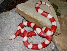 Nelsoni Albino Milk Snake