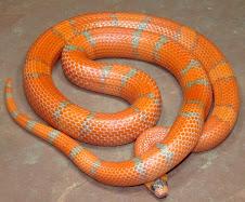 Tangerine Hypo Hondurensis