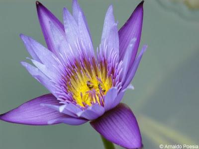 http://3.bp.blogspot.com/_zOIYAesydcQ/SiaU7yk33LI/AAAAAAAAACk/jolPkEzniX8/s400/flor+de+lotus+3.jpg