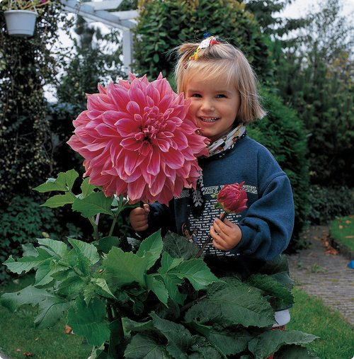 Behold (placing children next to them seems to be a favorite way to show off size)  sc 1 st  The Woods LA & The Woods LA: Dinner Plate Dahlias
