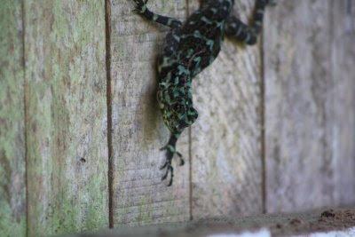 Un geecko bicolor tomaba el sol en las paredes del puesto de control, tal vez ayudando al conteo de visitantes...