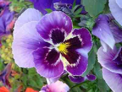 [violeta.htm]