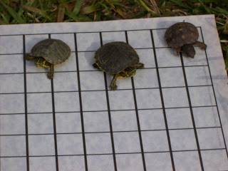 All-three-baby-turtles