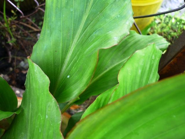 Daun kunyit hitam yang bergarisan kemerahan pada sekeliling daun.