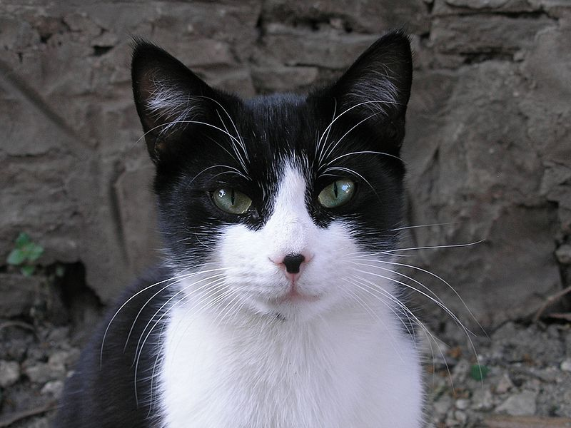 black and white cats with green eyes. LONG LIMBED BLACK AND WHTE