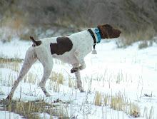 Boone is from Heartland Kennels, Kansas.  He is all hunt, very honest, a true friend.